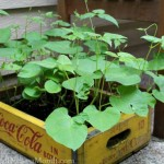 growing beans in an old coke crate