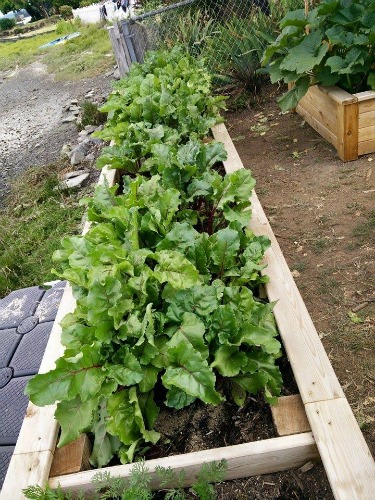 growing beets in raised beds