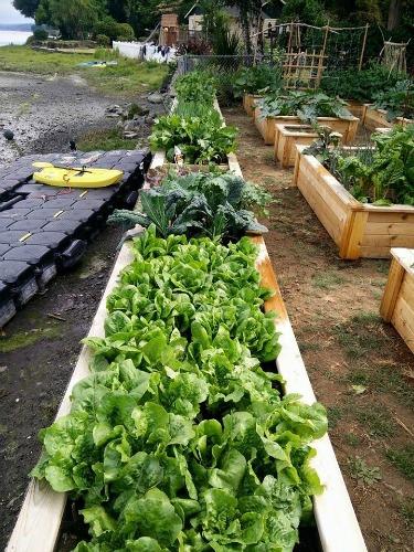 growing lettuce in cedar beds