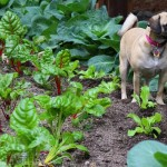 Lucy the Puggle Dog Helps in the Garden