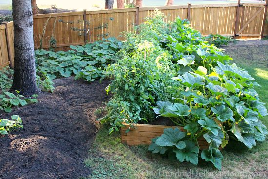 backyard garden boxes squash plants