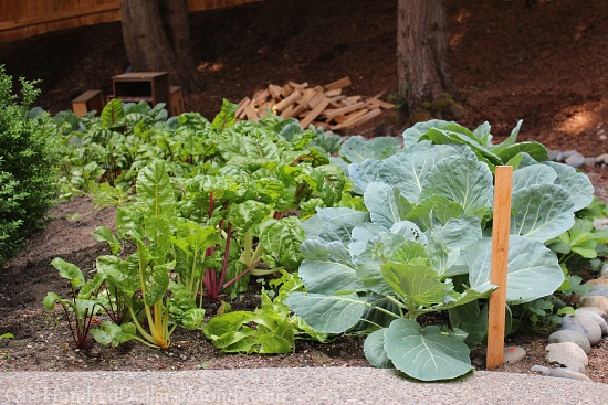 cabbage Swiss chard