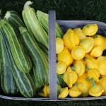 zucchini patty pan summer squash