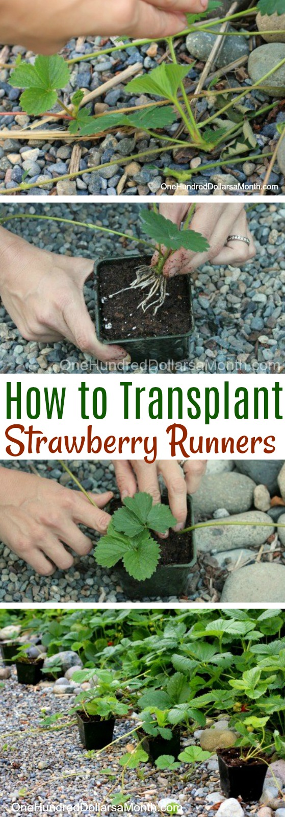 Transplanting Strawberry Runners