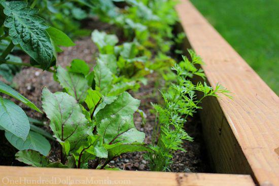 beets carrots raised garden bed