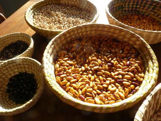 collecting dried beans