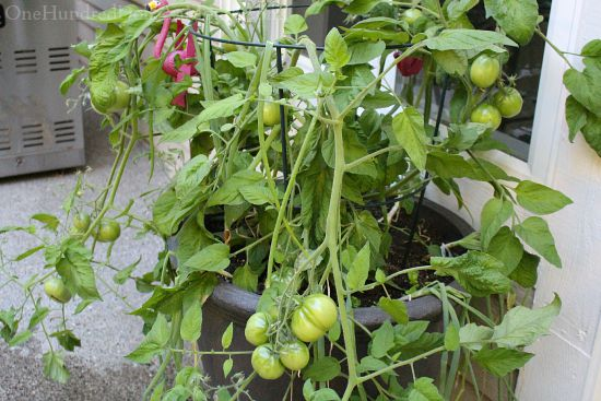 Mavis Butterfield | Backyard Garden Plot Pictures 8/2/15