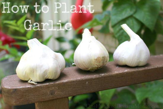 planting garlic in the fall for a summer harvest. Black Bedroom Furniture Sets. Home Design Ideas