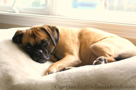 Lucy The Puggle Dog5