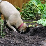 Lucy the Puggle Dog, Caterpillars and Potatoes