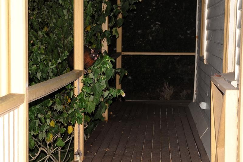 Spring Gardening in Tasmania and a Lemon Cordial Recipe
