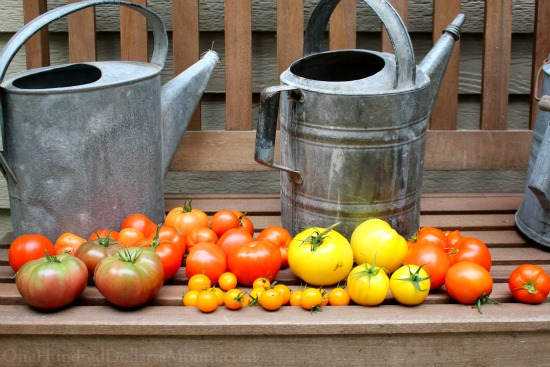 heirloom tomatoes garden bench watering cans