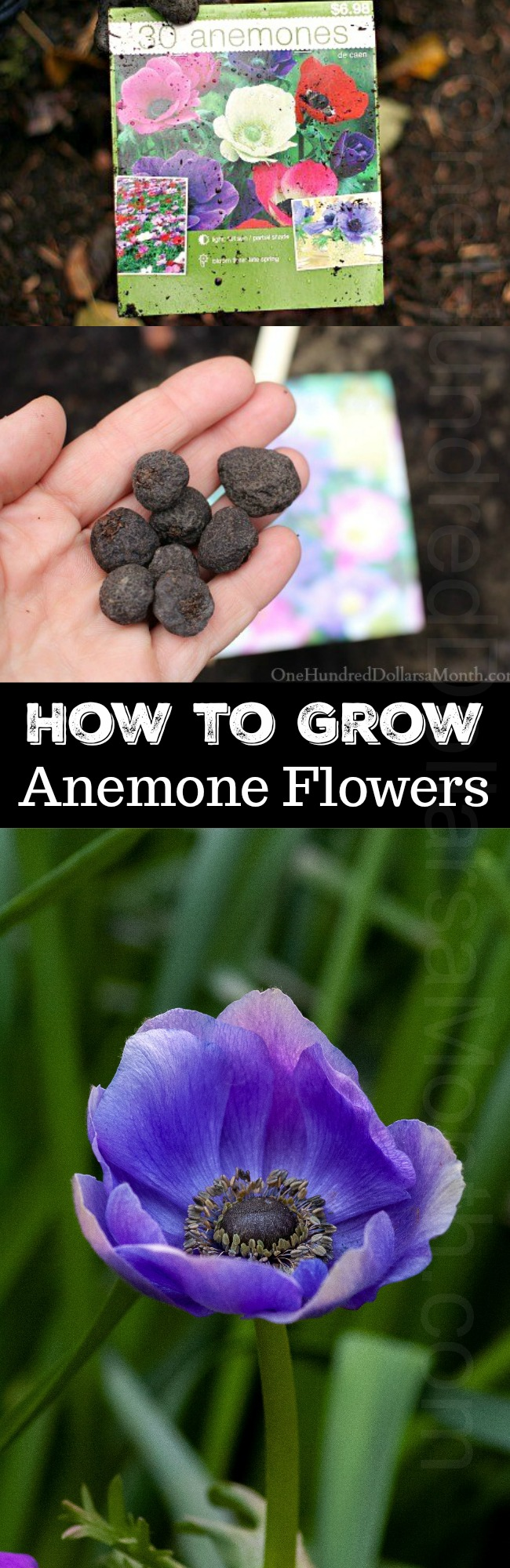 How to Grow Anemone Bulbs