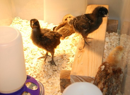 The 411 on Raising Baby Chickens