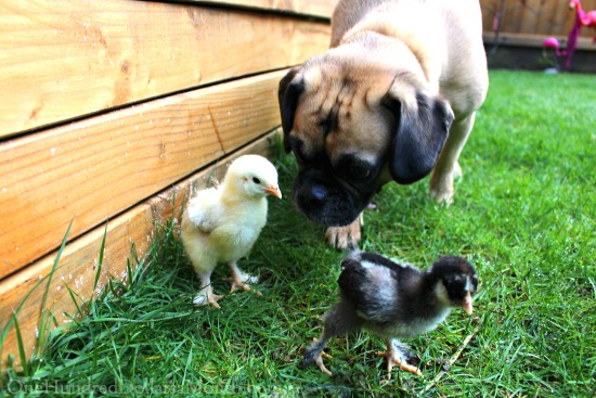 Fresh Air for Lucy's Baby Chicks…