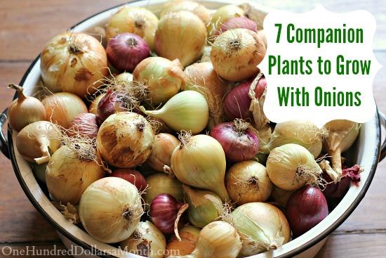 7 Companion Plants to Grow With Onions