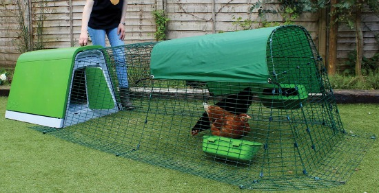 Could a Chicken Be Considered a Household Pet?