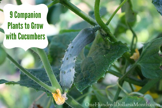 9 Companion Plants to Grow with Cucumbers
