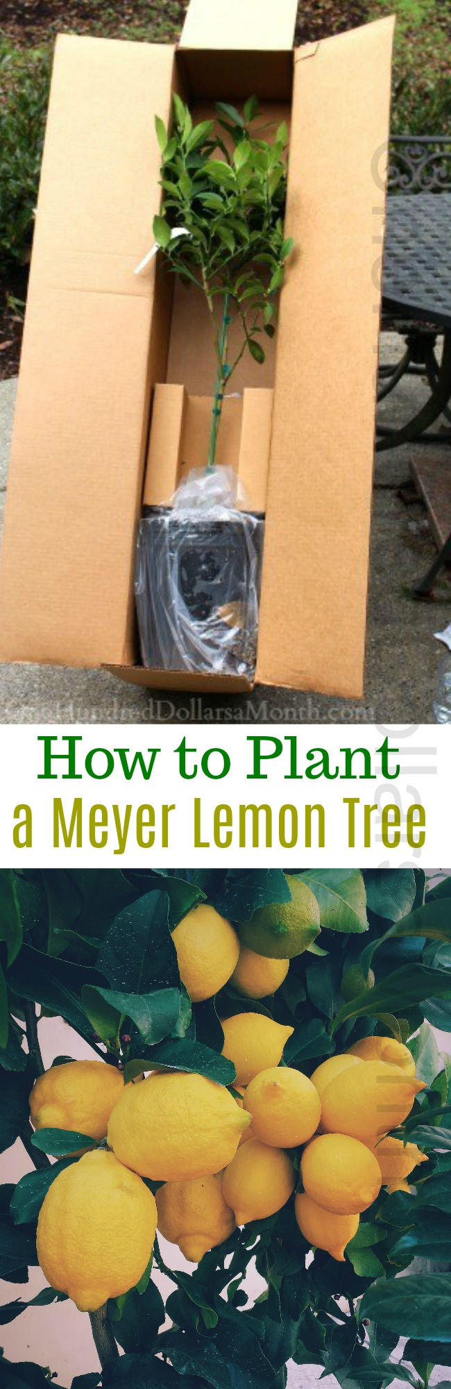 Container Gardening – How to Plant a Meyer Lemon Tree