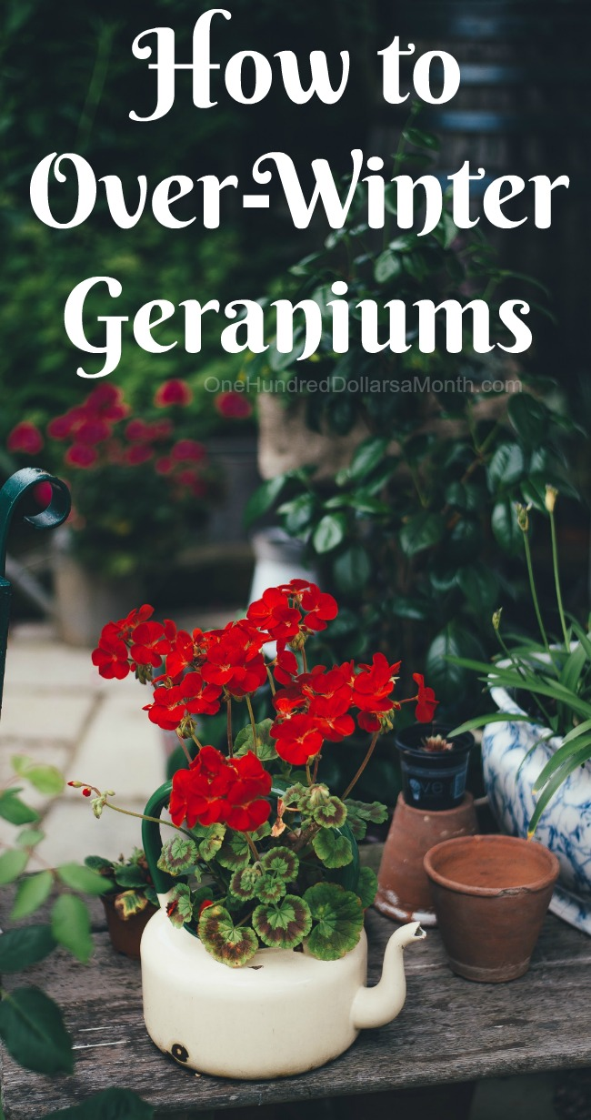 Garden tips archives one hundred dollars a month - Overwintering geraniums tips ...