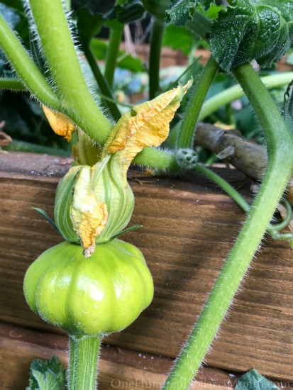 Early October Backyard Vegetable Garden Update