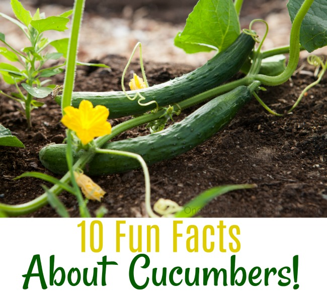 10 Fun Facts About Cucumbers!