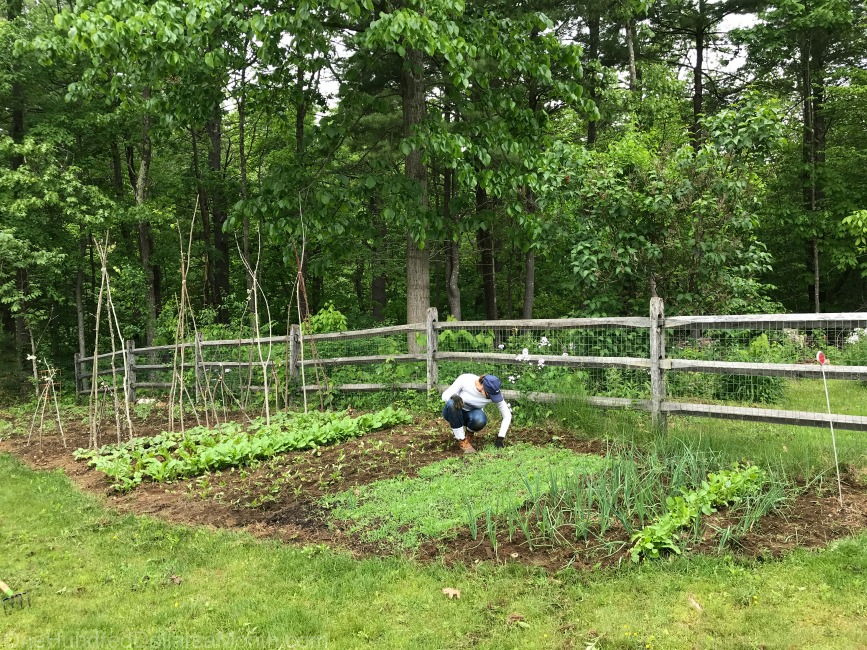 Gardening in New England – Pulling Weeds, Mystery Plants and Irish Spring Soap