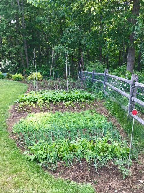Gardening in New England – Vegetable Garden Update, Mystery Plant of the Week and Blueberries!