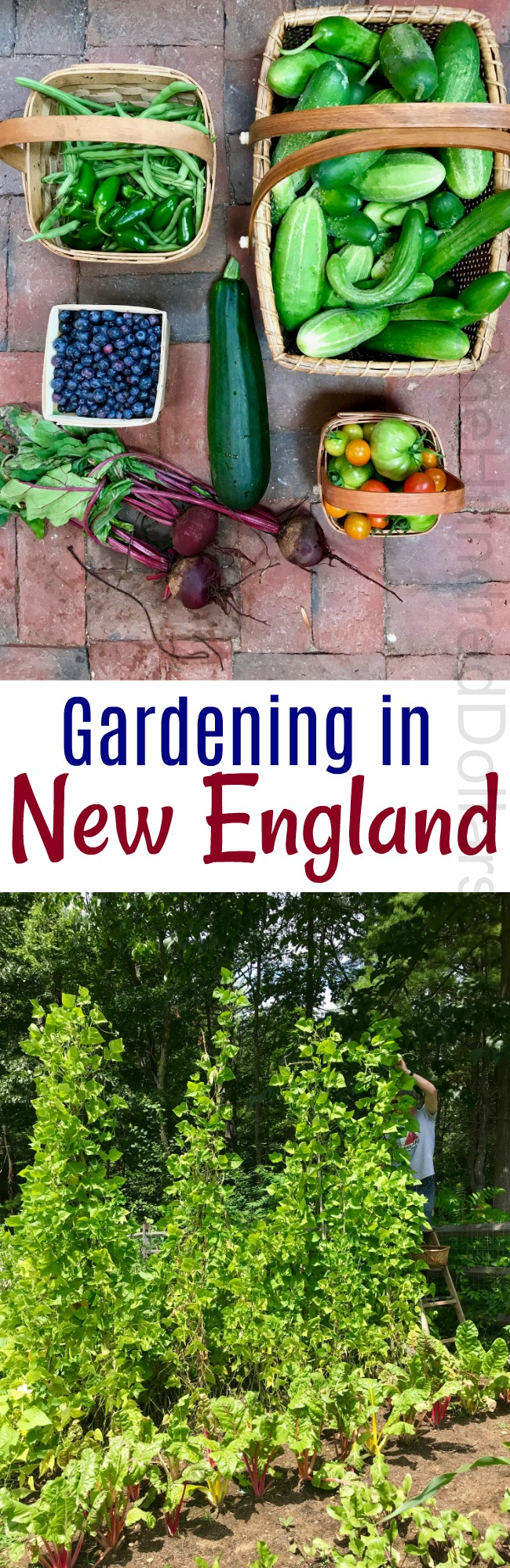 Gardening in New England – My First Big Harvest and the Backyard Vegetable Garden Tally for 8/1/2018