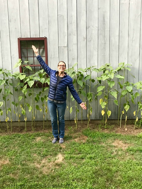Gardening in New England – Poison Ivy, The HH's New Tractor, and the Great Blueberry Watch
