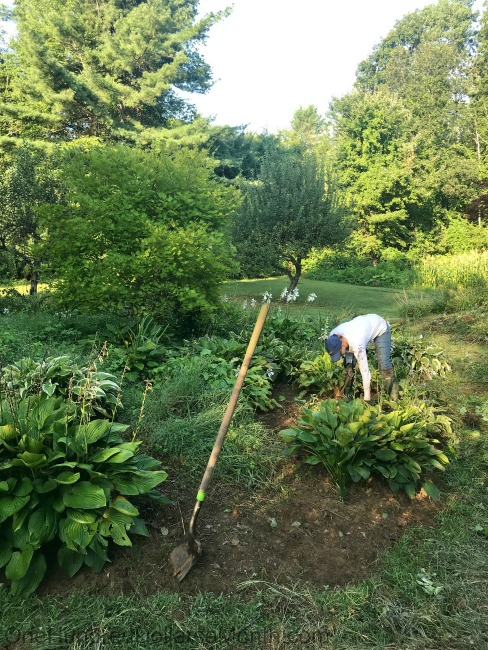 Gardening in New England – Mushy Corn and Loads of Tomatoes