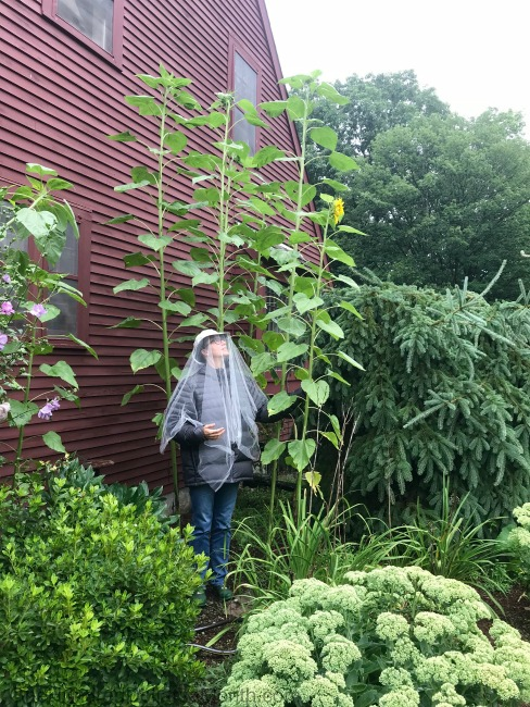 Gardening in New England – Mammoth Sunflowers and the Backyard Vegetable Garden Tally for 8/15/2018