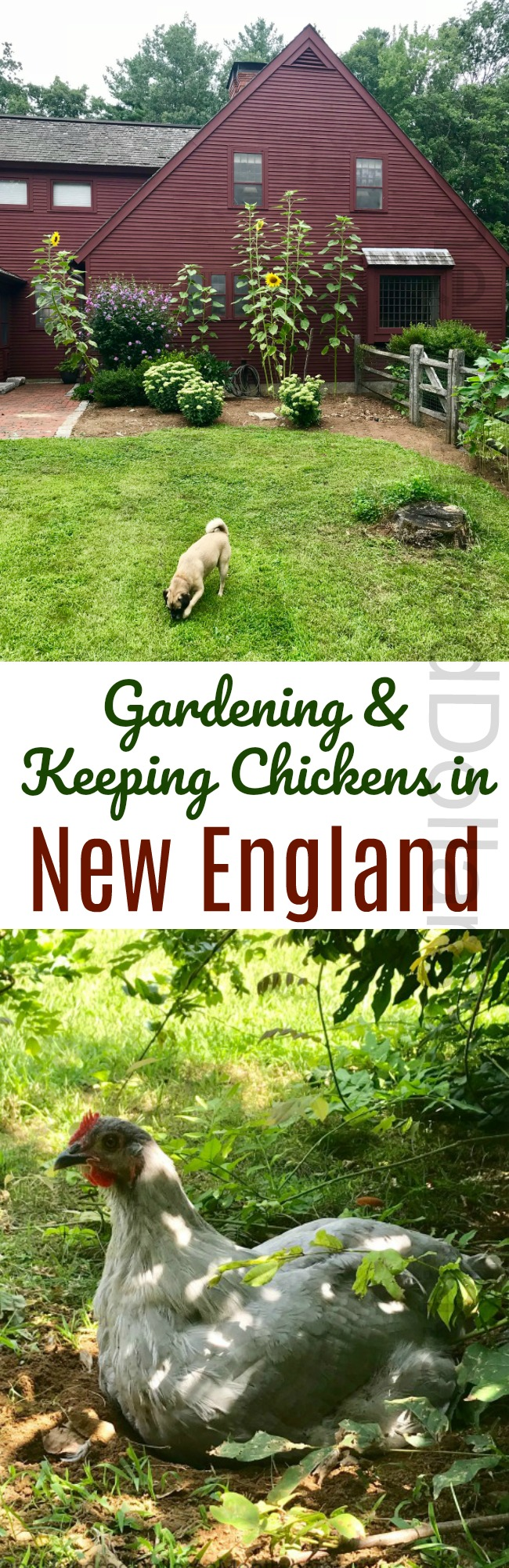 Gardening in New England – An Update on the Chicken Run and The Backyard Vegetable Garden Tally for 8/22/2018