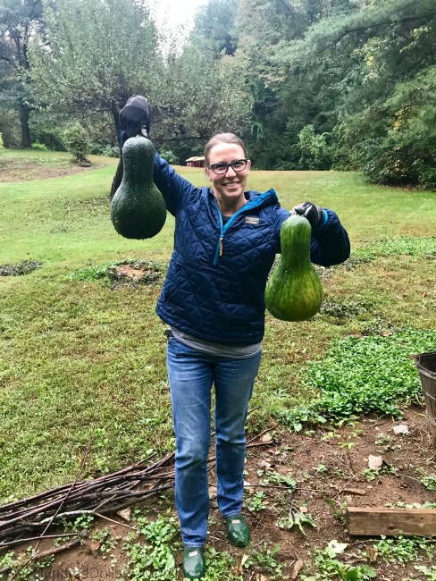 Gardening in New England – Lucy the Digging Puggle, Teeny Tiny Sweet Potatoes and My Mystery Squash
