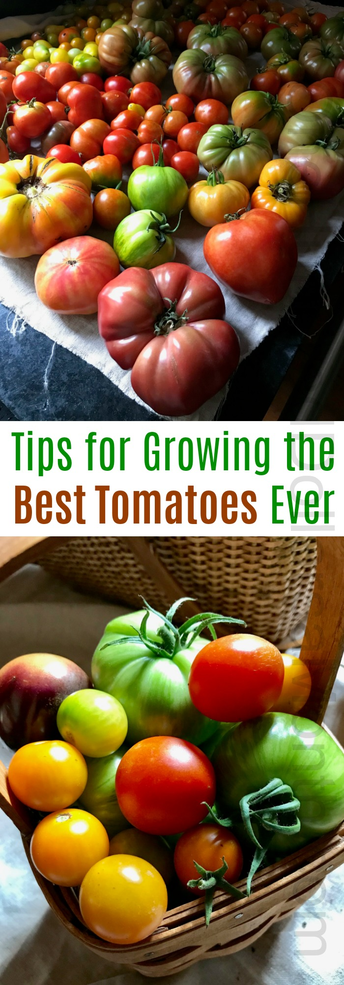 Tips for Growing the Best Tomatoes Ever