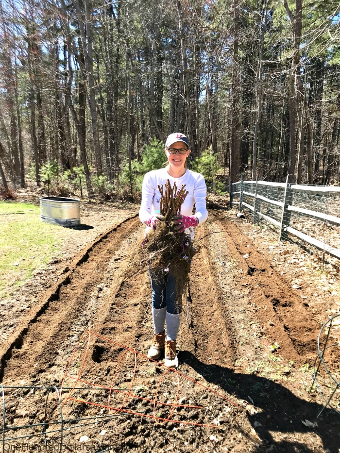 Gardening in New England – Planting Raspberry Canes, Strawberries and Flower Bulbs