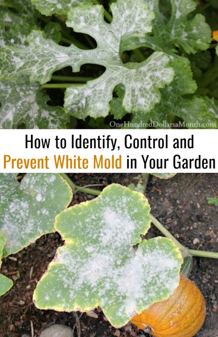 How to Identify, Control and Prevent White Mold in Your Garden