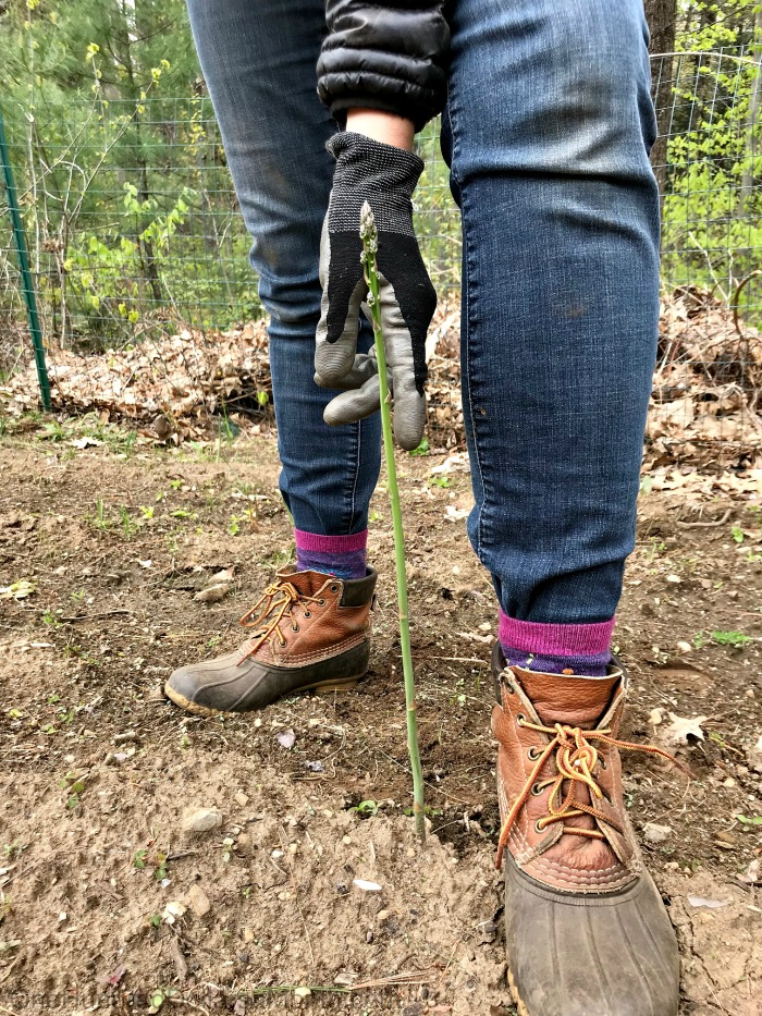 Gardening in New England – The First Asparagus Spears, Hunting for Sedum Plants, A Wee Bit of Mulch and More