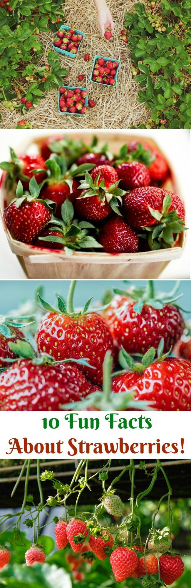 10 Fun Facts About Strawberries!