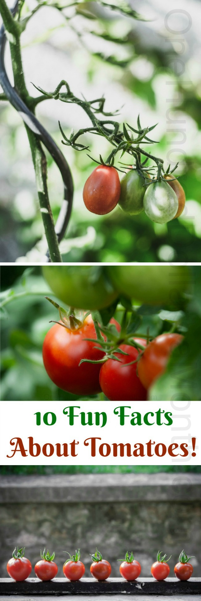 10 Fun Facts About Tomatoes!
