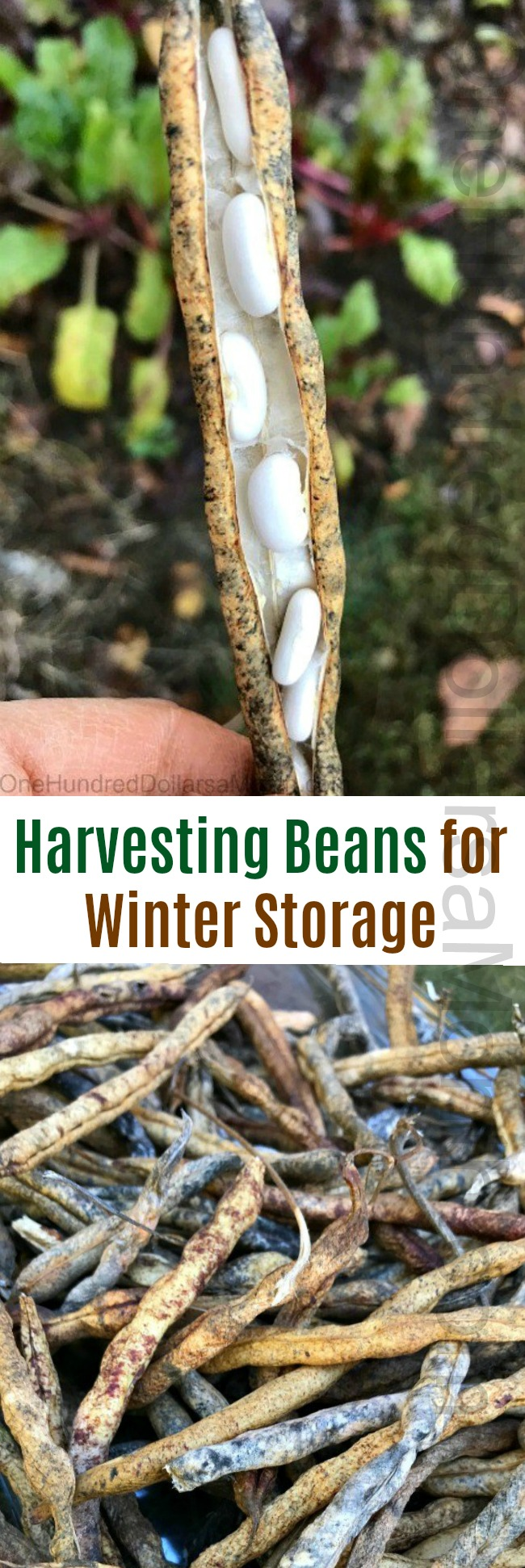 Harvesting Beans for Winter Storage