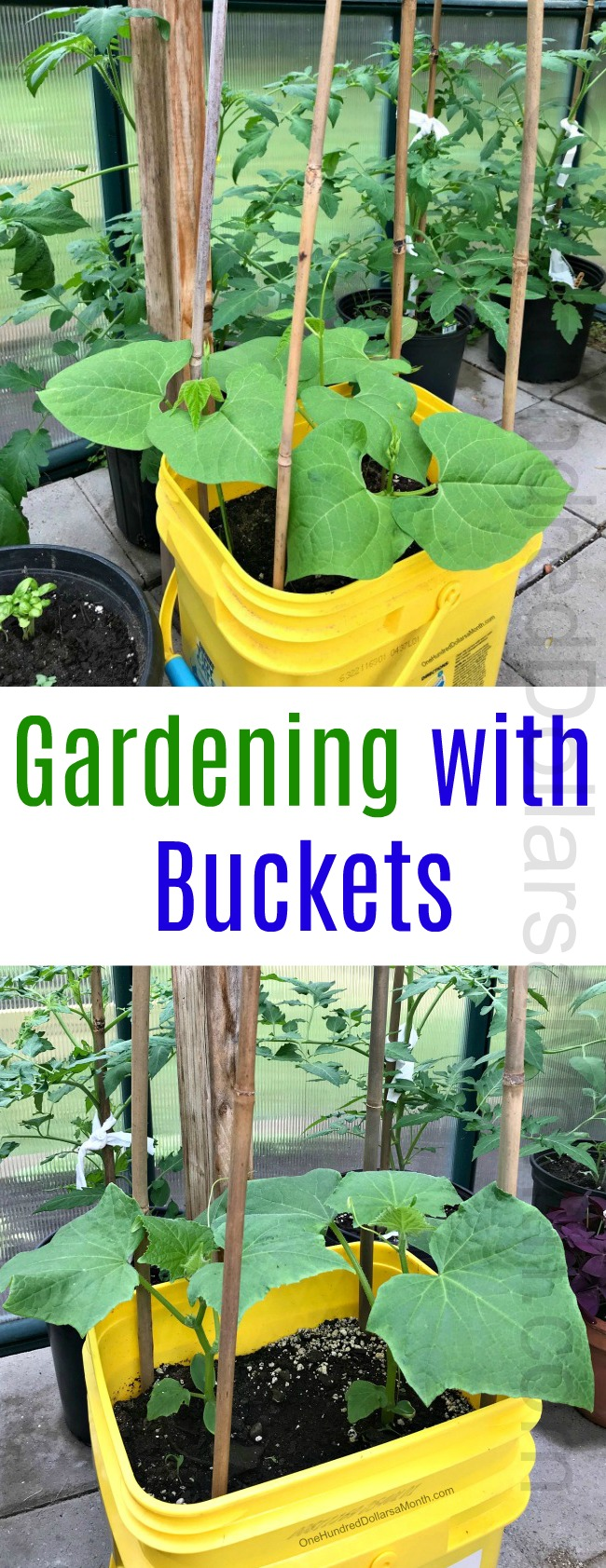 Greenhouse Gardening in Maine – Growing Vegetables in Buckets