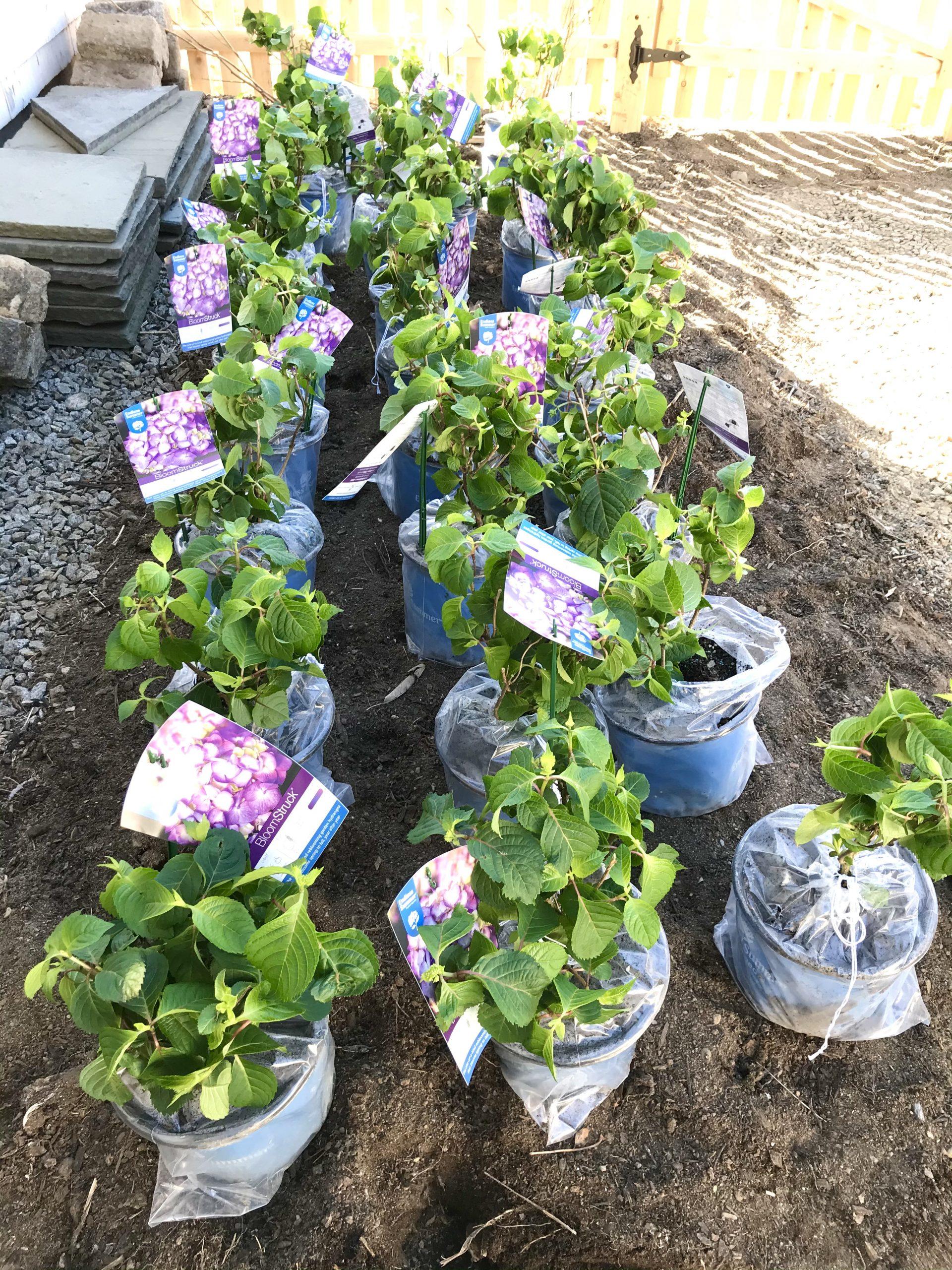 1 Gallon Endless Summer Bloomstruck Hydrangeas