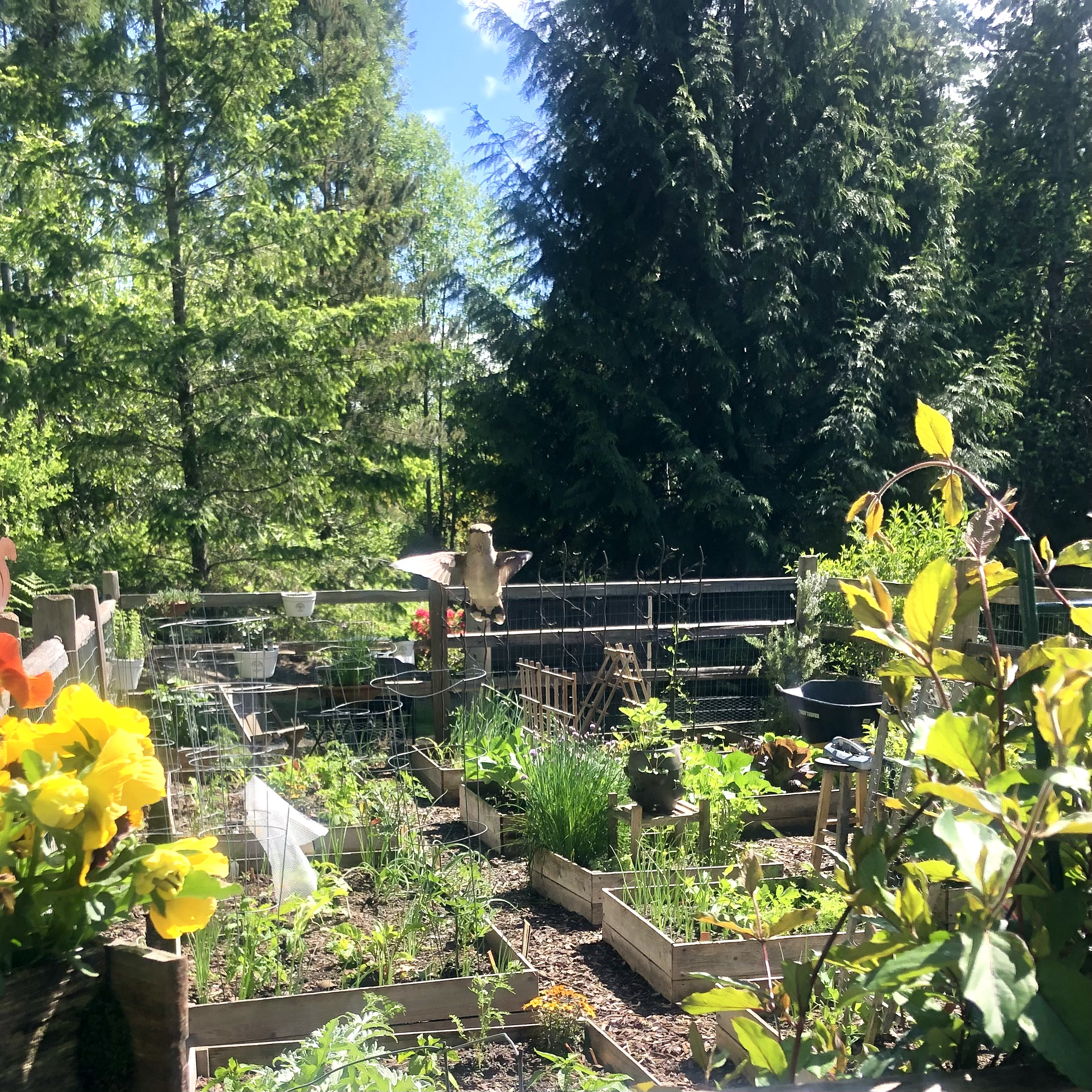 Mrs. Hillbilly Shares Pictures of Her Zone 8a Washington State Garden