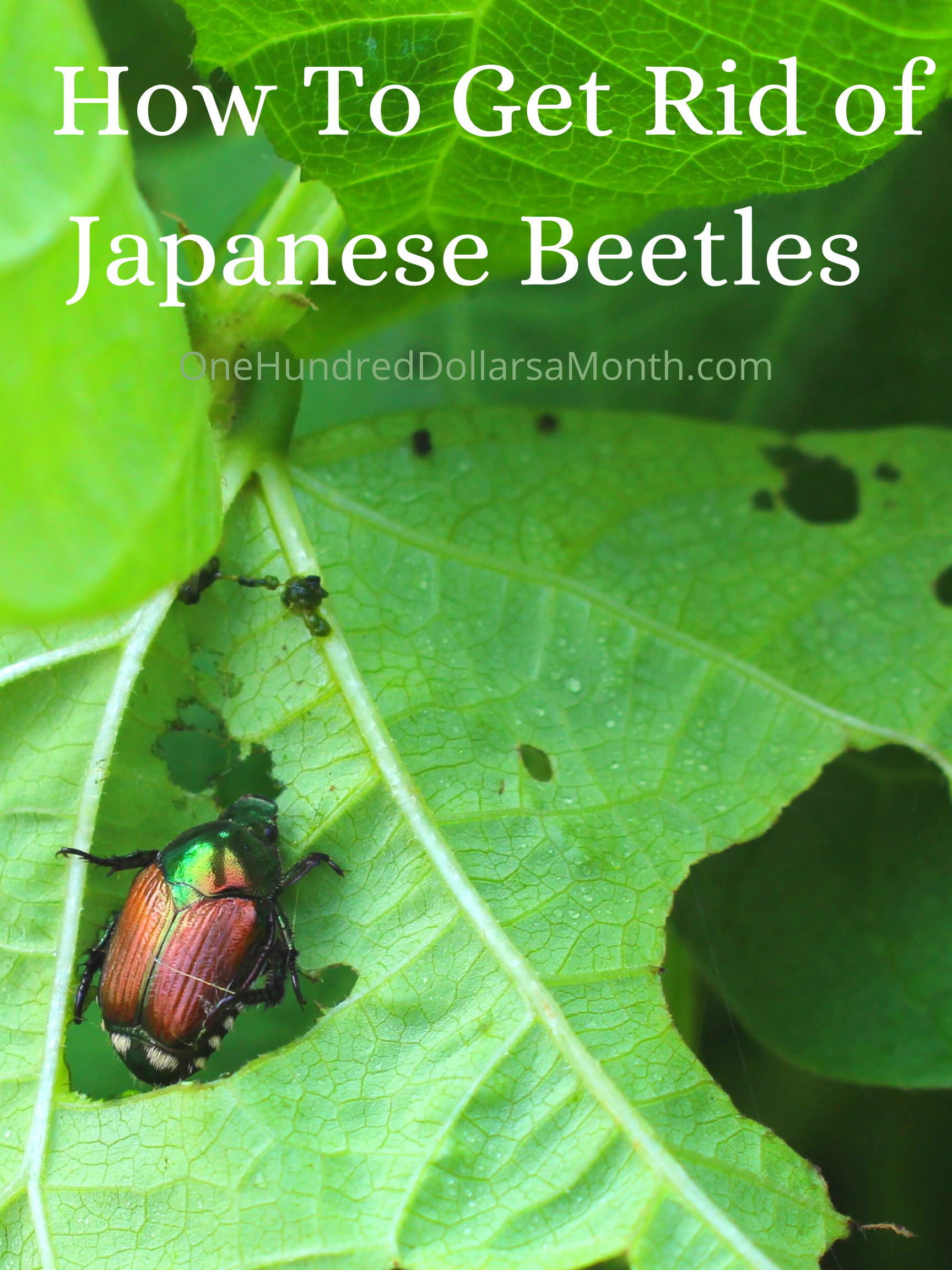 How To Get Rid of Japanese Beetles – 9 Proven Tricks From Readers